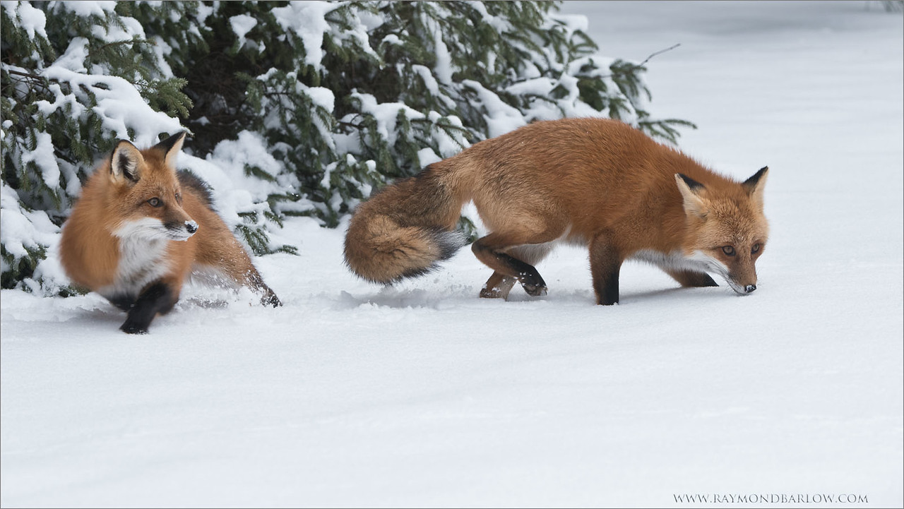 Two Foxes Hunting <br /> Photography Tours and Workshops