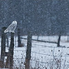 """Snowy Owl on the Farm<br /> Raymond's Ontario Nature Tours<br /> <br />  <a href=""""http://www.raymondbarlow.com"""">http://www.raymondbarlow.com</a><br /> ray@raymondbarlow.com<br /> Nikon D810 ,Nikkor 200-400mm f/4G ED-IF AF-S VR<br /> 1/160s f/6.3 at 400.0mm iso64"""