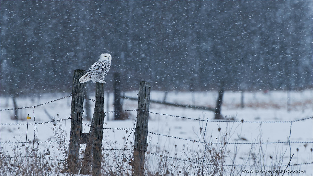 "Snowy Owl on the Farm<br /> Raymond's Ontario Nature Tours<br /> <br />  <a href=""http://www.raymondbarlow.com"">http://www.raymondbarlow.com</a><br /> ray@raymondbarlow.com<br /> Nikon D810 ,Nikkor 200-400mm f/4G ED-IF AF-S VR<br /> 1/160s f/6.3 at 400.0mm iso64"