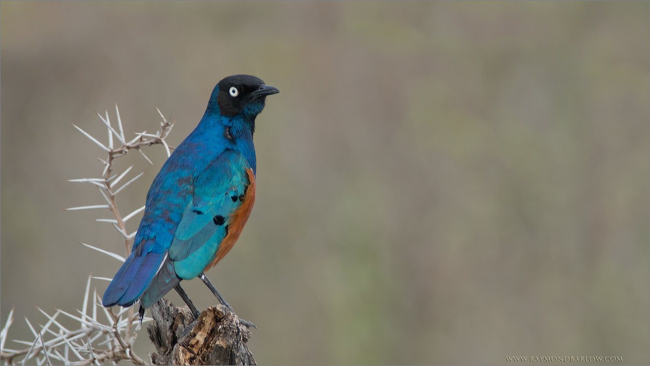 "It seems crazy!<br /> <br /> After hosting 4 tours to Tanzania, Africa, I finally have edited my first image of this beautiful species, the Superb Starling.<br /> <br /> They are everywhere!  Easily the most common bird we see on these tours.  But!  Try to get a good shot!?  Using the Swarovski Spotting Scope, and the Canon 70D with an effective focal length of 1200mm @ f11.5 - I finally was able to get a clean shot.<br /> <br /> Such an amazing bird, with the iridescent feathers, it shines! and can be seen from a great distance.  My problem?  It is a ground bird, so shooting from a safari truck down onto a bird on the dirt doesn't work for me.. I guess I am fussy.<br /> <br /> My tour to India is leaving in 2 months!  Join us?  Bengal Tigers!!<br /> For the serious wildlife photographer only!<br /> Please click - <a href=""http://tinyurl.com/meahvso"">http://tinyurl.com/meahvso</a><br /> <br /> Superb Starling<br /> RJB Tanzania, Africa Tours<br />  <a href=""http://www.raymondbarlow.com"">http://www.raymondbarlow.com</a><br /> Canon EOS 70D<br /> Swarovski Spotting Scope 65mm = 1200mm Eff.<br /> 1/250s f11.5 iso400"