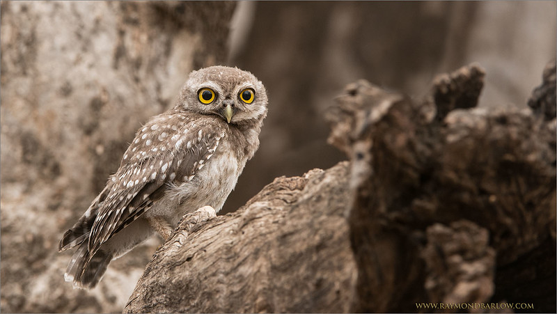 RJB_0664 Spotted Owl 1600 share