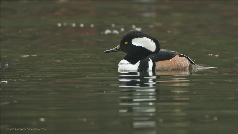 Hooded Merganser in the Rain<br /> RJB Wild Birds of Ontario Workshops<br /> Canon EOS 70D<br /> Swarovski Telescope STX 25x 95mm - 1340 mm<br /> 1/200s iso500