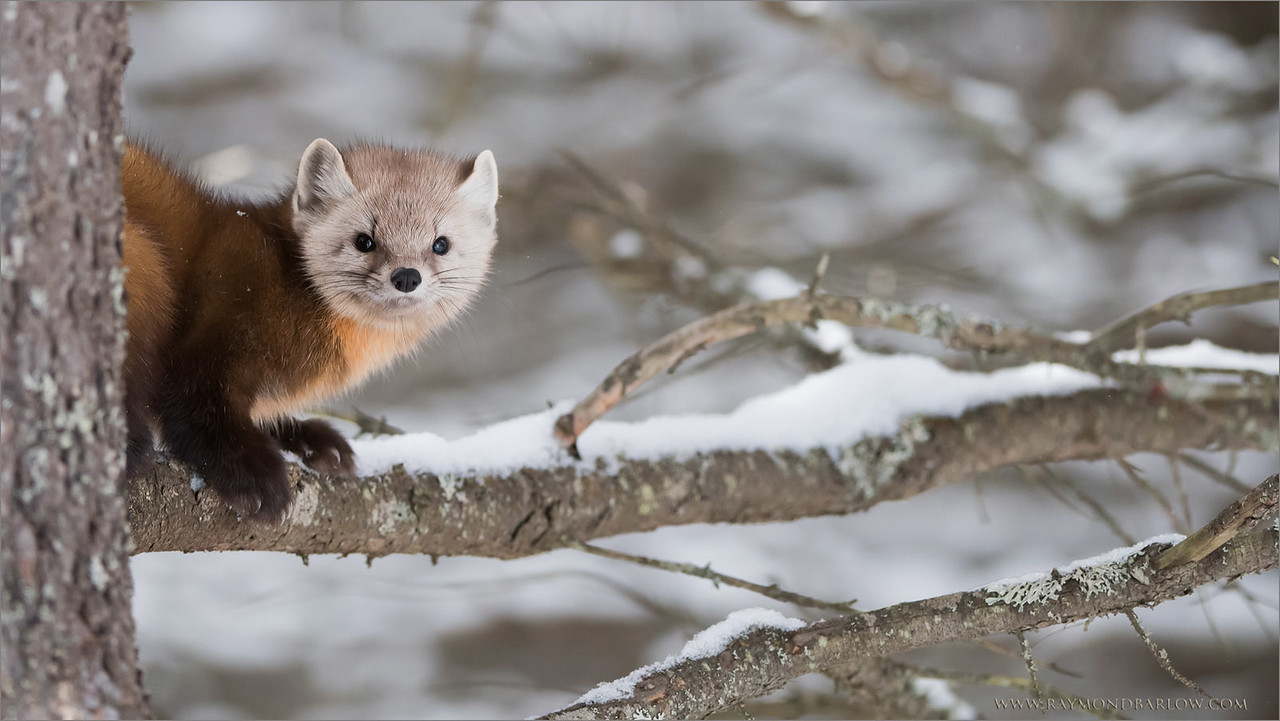 Pine Marten<br /> Raymond's Ontario Nature Photography Tours<br /> <br /> ray@raymondbarlow.com<br /> Nikon D810 ,Nikkor 200-400mm f/4G ED-IF AF-S VR<br /> 1/1000s f/4.0 at 200.0mm iso1600