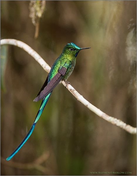 "Long-Tailed Sylph<br /> Raymond's Ecuador Tours<br /> <br />  <a href=""http://www.raymondbarlow.com"">http://www.raymondbarlow.com</a><br /> ray@raymondbarlow.com<br /> Nikon D810 ,Nikkor 200-400mm f/4G ED-IF AF-S VR<br /> 1/200s f/4.0 at 400.0mm iso400"