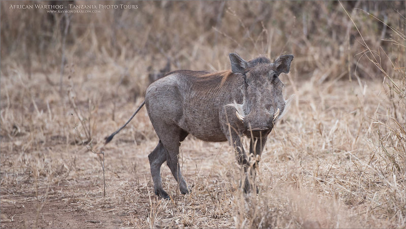 African Warthog<br /> Raymond Barlow Photo Tours to Tanzania Wildlife and Nature<br /> <br /> ray@raymondbarlow.com<br /> Nikon D810 ,Nikkor 200-400mm f/4G ED-IF AF-S VR<br /> 1/500s f/4.5 at 400.0mm iso400