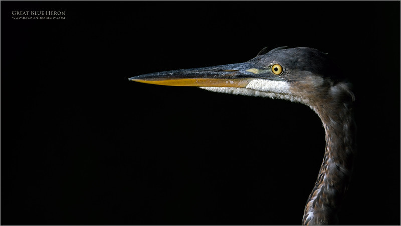 Great Blue Heron portrait.<br /> <br /> I was working with the 1.4 tele-convertor once again, we found this heron at sunset, with the dark pond water in the back ground.  Nice details at f9, and some awesome reach with the 200-600G lens.  Maybe just over exposed a bit on those cheek feathers, so not really a good edit!<br /> <br /> Next time!<br /> <br /> Thanks for looking.