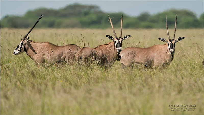 Here we found a rare species of antelope in East Africa.<br /> <br /> East African Oryx.<br /> <br /> A very handsome animal, gathering in small herds of 10-20,  We will find them out in the open grassy plains.  With this image you can see the issue with heat wave!<br /> <br /> Taken around 11 am in the hot sun, the heat wave distorts the light coming through our long lenses. Resulting in a tough edit.<br /> <br /> Maybe next time we can catch these beauties in the early am.<br /> <br /> August 2020!