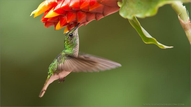 "Coppery-headed Hummingbird<br /> RJB Costa Rica Photo Tours<br /> <br />  <a href=""http://www.raymondbarlow.com"">http://www.raymondbarlow.com</a><br /> 1/1000s f/5.6 at 400.0mm iso2500"
