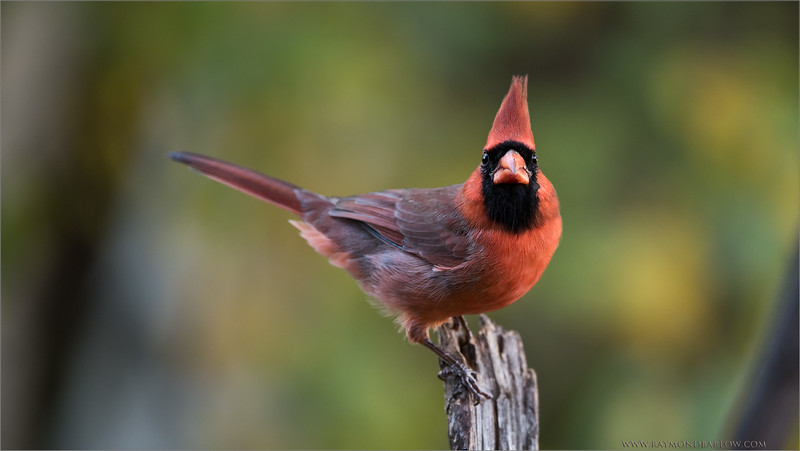 Northern Cardinal<br /> Raymond's Ontario Nature Tours<br /> <br /> ray@raymondbarlow.com<br /> 1/200s f/4.0 at 400.0mm iso800
