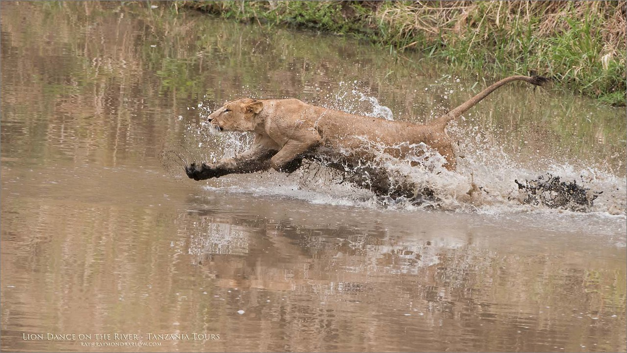 Young Male Lion River Dance<br /> Raymond Barlow Photo Tours to Tanzania Wildlife and Nature<br /> <br /> ray@raymondbarlow.com<br /> Nikon D810 ,Nikkor 200-400mm f/4G ED-IF AF-S VR<br /> 1/1000s f/5.0 at 360.0mm iso640