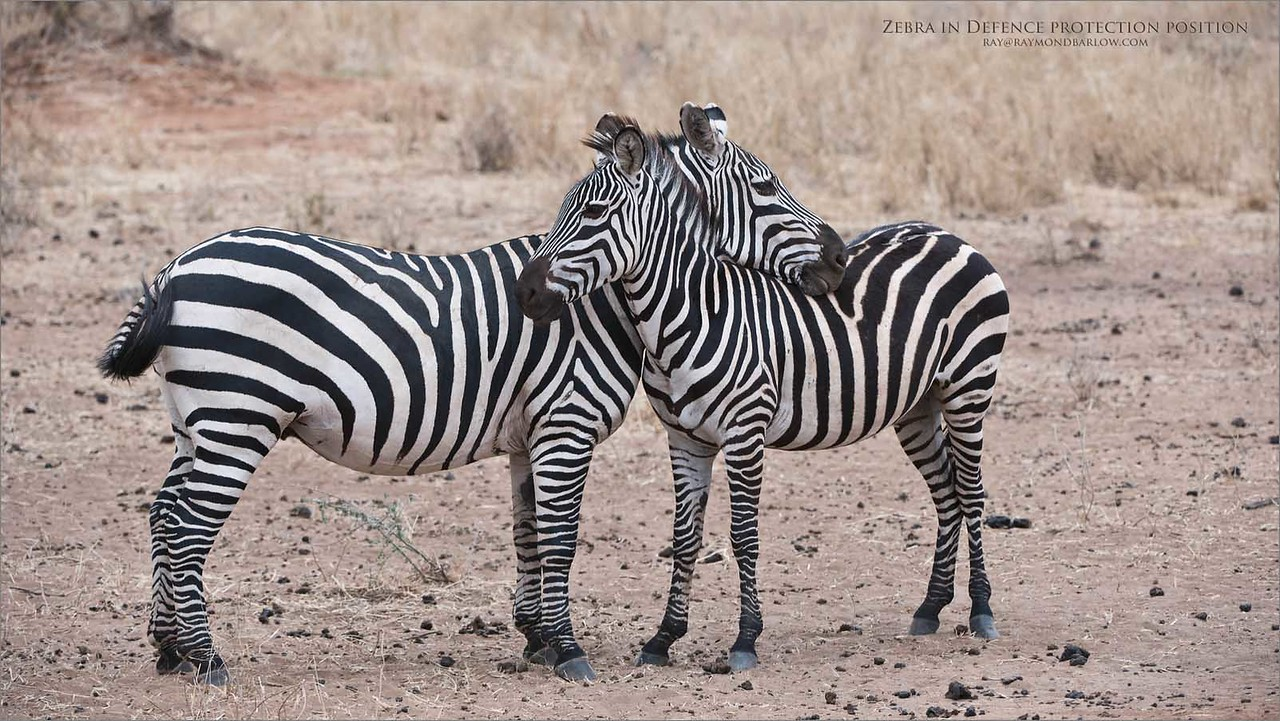 Zebra defense crossover<br /> Raymond Barlow Photo Tours to Tanzania Wildlife and Nature<br /> <br /> Prints - ray@raymondbarlow.com<br /> Nikon D810 ,Nikkor 200-400mm f/4G ED-IF AF-S VR<br /> 1/500s f/6.3 at 200.0mm iso400