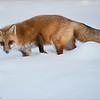 """Red Fox in some Snow<br /> Raymond's Ontario Nature Tours<br /> <br /> ray@raymondbarlow.com<br />  <a href=""""http://www.raymondbarlow.com"""">http://www.raymondbarlow.com</a><br /> Nikon D810 ,Nikkor 200-400mm f/4G ED-IF AF-S VR<br /> 1/1250s f/4.0 at 310.0mm iso640"""