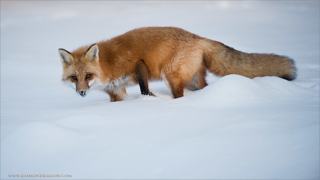 "Red Fox in some Snow<br /> Raymond's Ontario Nature Tours<br /> <br /> ray@raymondbarlow.com<br />  <a href=""http://www.raymondbarlow.com"">http://www.raymondbarlow.com</a><br /> Nikon D810 ,Nikkor 200-400mm f/4G ED-IF AF-S VR<br /> 1/1250s f/4.0 at 310.0mm iso640"