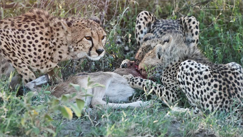 This is an eight image story  with a cheetah family hunting for a kill.  5 of 8<br /> <br /> All three of the cheetahs feeding and gorging on the kill, they looked very hungry as their bellies were quite narrow. The two younger cubs worked from the back and the mother started midway down the young wildebeests body tearing off flesh and feeding.