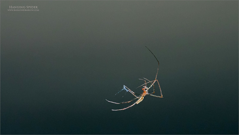 """This spider is about 1/2"""""""" from toe to toe.  The Sony a9 locked on in a split second and tracked it as it shuffled back into the tree after dropping 12 feet to have a drink in the stream.<br /> <br /> Amazing gear.<br /> <br /> Thanks for looking!<br /> ray@raymondbarlow.com"""