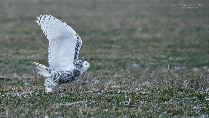 Snowy Owl Lift Off<br /> Raymond's Ontario Nature Photography Tours<br /> <br /> ray@raymondbarlow.com<br /> Nikon D850 ,Nikkor 200-400mm f/4G ED-IF AF-S VR<br /> 1/1000s f/5.6 at 400.0mm iso1600