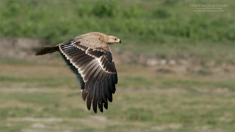A heavy crop with this Tawny eagle in flight image, pushing the limits of the a9 + 200-600 image files.<br /> <br /> This is a beautiful bird, so I thought it was worth sharing.<br /> <br /> Thanks for looking!