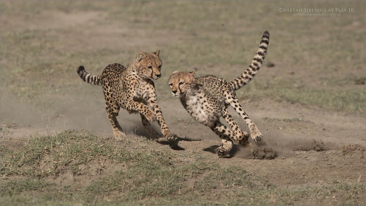 Cheetahs at Play Series 12 Shots  - Image 10 of 12