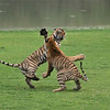 """Siblings in Battle - Ranthambore NP India.<br /> RJB India Photo Tour<br />  <a href=""""http://www.raymondbarlow.com"""">http://www.raymondbarlow.com</a><br /> 1/2500s f/4.0 at 210.0mm iso5000"""