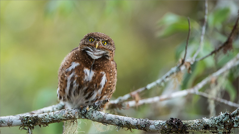 "The Female Calls to her Mate!<br /> <br /> We carefully watched these 2 pygmy owls for a morning, on a hill adjacent to a farm property, south of San Jose, Costa Rica.<br /> <br /> The Male was more active, flying form perch to perch, the female would call once in a while to possibly guard the area., as their nest site was close by.  Being careful not to disturb them, we came in and left quietly.  these birds seemed totally indifferent to our presence.<br /> <br /> A shot of the 2 mating, (posted earlier) was so cool, as this was the first time for me to see owls mating.  Hopefully another chance in the future!<br /> <br /> Thanks to everyone for looking, commenting, and sharing my images!<br /> <br /> Kind regards, and have a very good week!<br /> <br /> Costa Rican Pygmy Owl - Female Calling<br /> RJB Costa Rica Tours<br />  <a href=""http://www.raymondbarlow.com"">http://www.raymondbarlow.com</a><br /> 1/1000s f/4.0 at 400.0mm iso2500"