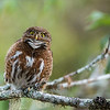 """The Female Calls to her Mate!<br /> <br /> We carefully watched these 2 pygmy owls for a morning, on a hill adjacent to a farm property, south of San Jose, Costa Rica.<br /> <br /> The Male was more active, flying form perch to perch, the female would call once in a while to possibly guard the area., as their nest site was close by.  Being careful not to disturb them, we came in and left quietly.  these birds seemed totally indifferent to our presence.<br /> <br /> A shot of the 2 mating, (posted earlier) was so cool, as this was the first time for me to see owls mating.  Hopefully another chance in the future!<br /> <br /> Thanks to everyone for looking, commenting, and sharing my images!<br /> <br /> Kind regards, and have a very good week!<br /> <br /> Costa Rican Pygmy Owl - Female Calling<br /> RJB Costa Rica Tours<br />  <a href=""""http://www.raymondbarlow.com"""">http://www.raymondbarlow.com</a><br /> 1/1000s f/4.0 at 400.0mm iso2500"""
