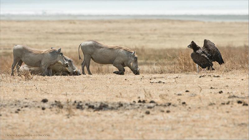 Martial Eagle and Warthogs - Tanzania