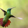 "Green-breasted Mango<br /> RJB Costa Rica Tours<br /> <br />  <a href=""http://www.raymondbarlow.com"">http://www.raymondbarlow.com</a><br /> 1/2000s f/6.3 at 400.0mm iso4000"