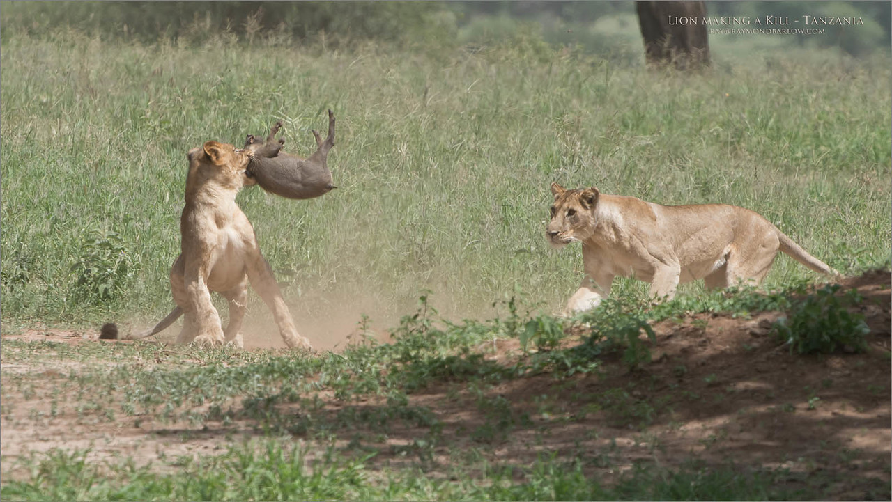 A young warthog bites the dust! - 4 of 8 images.