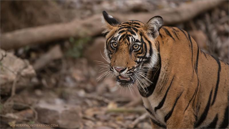 RJB_0831 Tiger Portrait 1600 share