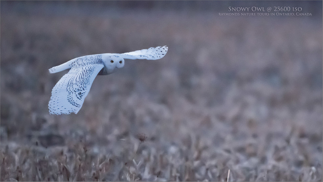 Snowy Owl at 25600 iso<br /> Raymond's Ontario Nature Photography Tours<br /> <br /> ray@raymondbarlow.com<br /> Nikon D850 ,Nikkor 200-400mm f/4G ED-IF AF-S VR<br /> 1/4000s f/4.0 at 400.0mm iso25600