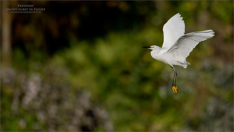 Snowy Egret in Flight - Freedom<br /> Raymond Barlow Photo Tours to USA - Wildlife and Nature<br /> <br /> ray@raymondbarlow.com<br /> Nikon D810 ,Nikkor 600 mm f/4 ED<br /> 1/4000s f/4.0 at 600.0mm iso160
