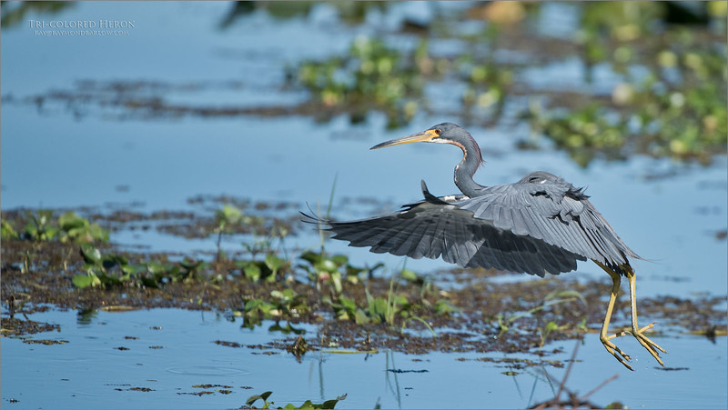Hanging out in the warm sun, listening to nothing but sounds of nature.  This heron flies into my camera, and jumps around looking to fill its belly with minnows.  Almost non-stop action, and a shutter getting its exercise! <br /> <br /> Love Florida.<br /> <br /> Tricolored Heron in Flight<br /> Orlando, Florida<br /> <br /> ray@raymondbarlow.com<br /> Nikon D850 ,Nikkor 200-400mm f/4G ED-IF AF-S VR<br /> 1/5000s f/4.0 at 400.0mm iso800