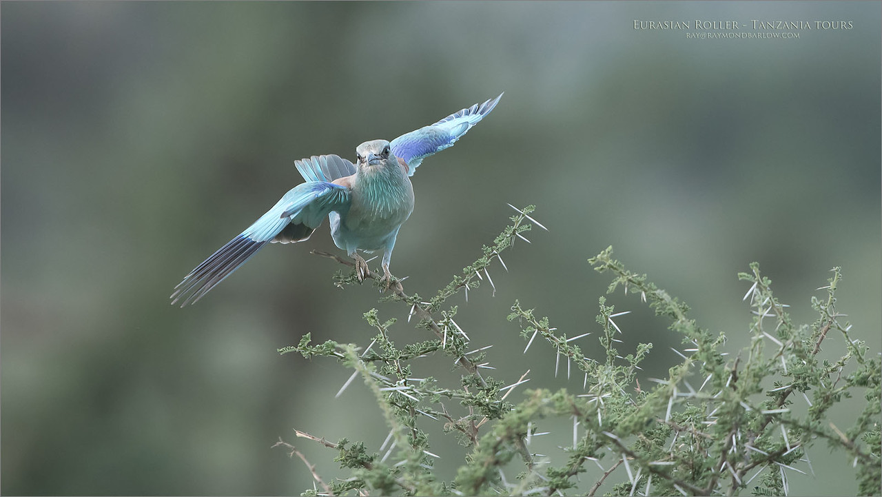 When this beautiful roller came in for a landing, it had a hard time finding its footing!  Very fortunate to be ready, I was able to capture about 5 frames in different wing positions.  <br /> <br /> The pure beauty of wild Tanzania!  -  Love Africa!<br /> <br /> Eurasian roller in a balancing act!<br /> Raymond Barlow Photo Tours to Tanzania Wildlife and Nature<br /> <br /> ray@raymondbarlow.com<br /> Nikon D850 ,Nikkor 200-400mm f/4G ED-IF AF-S VR<br /> 1/1000s f/4.0 at 400.0mm iso1250