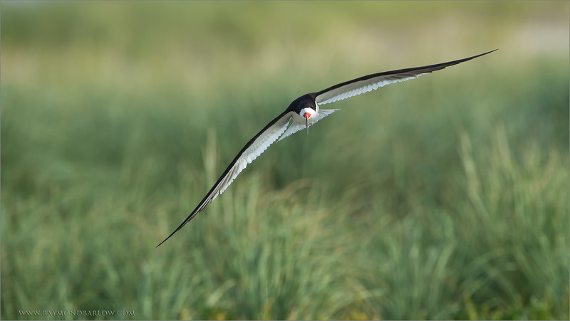 Black Skimmer in Flight<br /> RJB USA Photo Tours<br /> <br /> ray@raymondbarlow.com<br /> 1/2500s f/6.3 at 600.0mm iso800