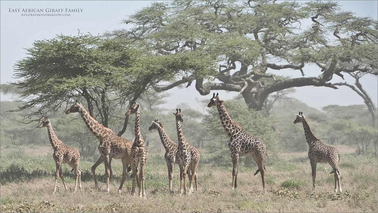 High winds and dust did not help this shot too much, but in some ways, the effect is cool.  We had hundreds of giraffe to see and photograph during this tour, I am so thankful for the overwhelming beauty of Tanzania.<br /> <br /> East African Giraffe Family - Tanzania<br /> Raymond Barlow Photo Tours to Tanzania Wildlife and Nature<br /> <br /> ray@raymondbarlow.com<br /> Nikon D850 ,Nikkor 200-400mm f/4G ED-IF AF-S VR<br /> 1/2500s f/5.6 at 200.0mm iso640