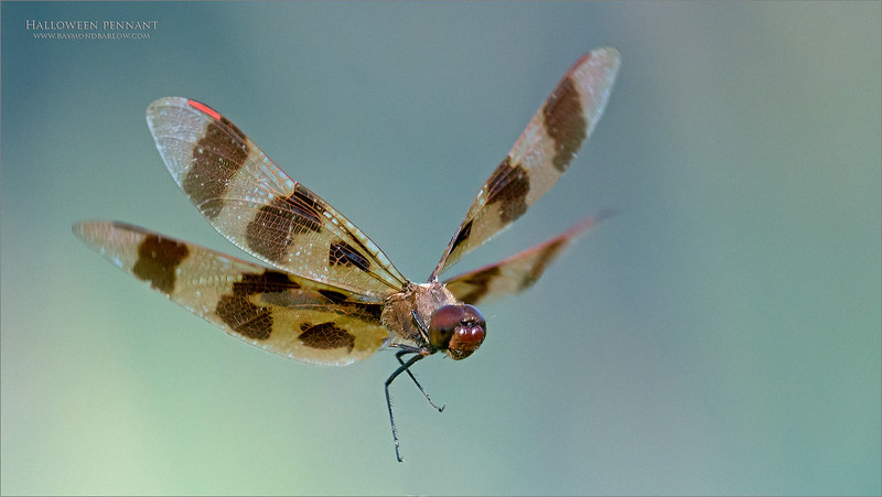 Halloween pennant coming in for a landing.