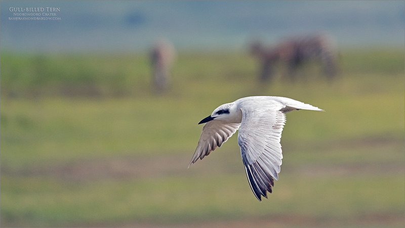 We were taking a break from the Zebra, and Wildebeests, while a Gull-billed tern circled around the pond for some flight shots!<br /> <br /> Great fun.  This appears to be a first year bird, with non-breeding plumage?<br /> <br /> Thanks for looking!