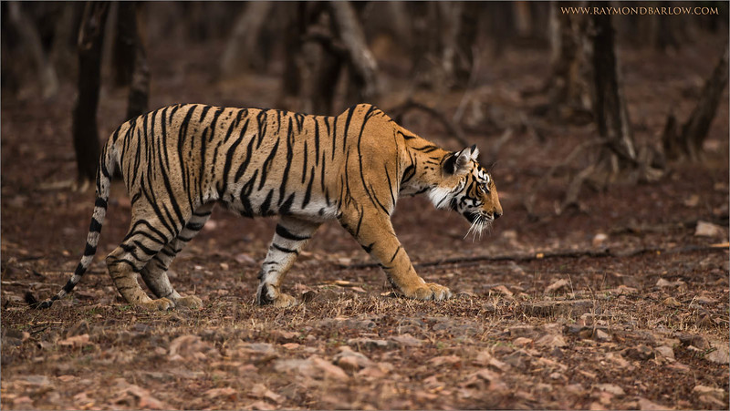 "Tiger on the Prowl<br /> RJB India Photo Tours<br /> <br /> <a href=""http://raymondbarlowworkshops.blogspot.ca/2014/06/raymond-barlows-bengal-tiger-tour.html"">http://raymondbarlowworkshops.blogspot.ca/2014/06/raymond-barlows-bengal-tiger-tour.html</a><br /> 1/640s f/4.0 at 340.0mm iso500"