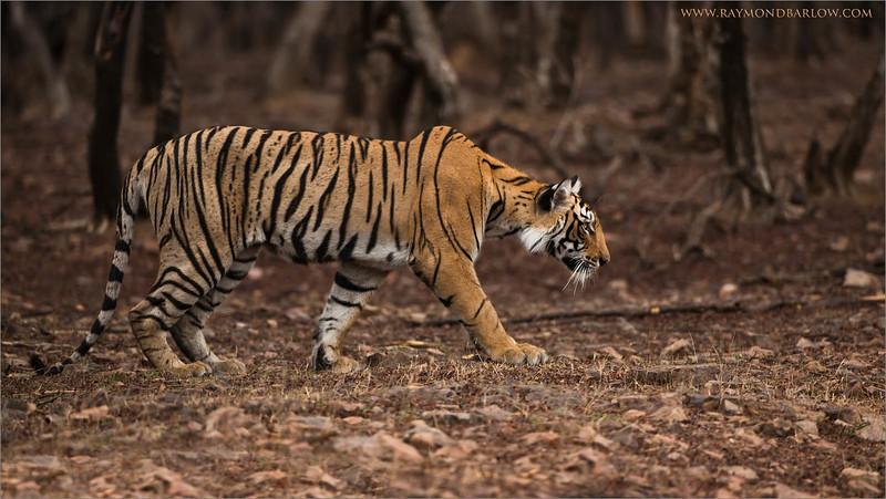 "Tiger on the Prowl<br /> RJB India Photo Tours<br /> <br /> <a href=""http://raymondbarlowworkshops.blogspot.ca/2014/06/raymond-barlows-bengal-tiger-tour.html"">http://raymondbarlowworkshops.blogspot.ca/2014/06/raymond-barlows-bengal-tiger-tour.html</a><br /> 1/640s f/4.0 at 340.0mm iso500"
