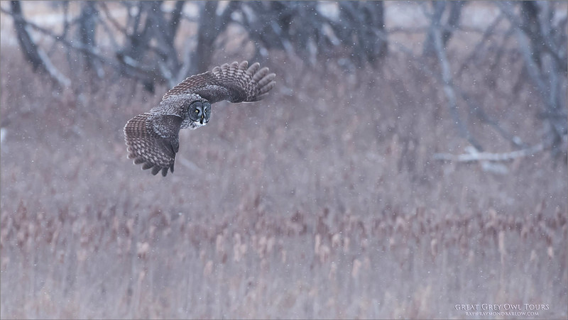 Great Grey Owl in Flight - Canada<br /> Raymond's Canada Nature Photography Tours<br /> <br /> ray@raymondbarlow.com<br /> Nikon D810 ,Nikkor 200-400mm f/4G ED-IF AF-S VR<br /> 1/800s f/5.0 at 400.0mm iso1600