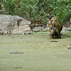 Tiger in the Swamp<br /> Raymond's Wild Tiger Photography Tours<br /> <br /> ray@raymondbarlow.com<br /> Nikon D810 ,Nikkor 200-400mm f/4G ED-IF AF-S VR<br /> 1/160s f/6.3 at 400.0mm iso2000