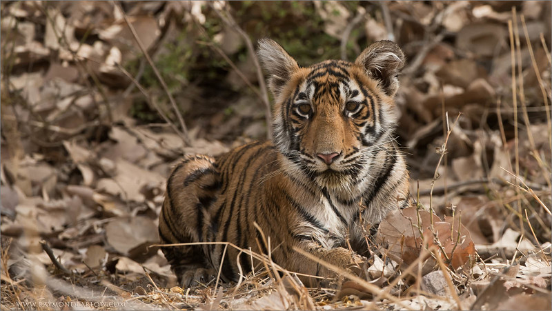 Tiger Cub in India<br /> Raymond's Wild Tiger Photography Tours<br /> <br /> Our next Tiger Tour is set for November 30th, 2016<br /> The sightings will be extraordinary!<br /> Join us!  ( 3 guests Maximum )<br /> <br /> ray@raymondbarlow.com<br /> Nikon D810 ,Nikkor 200-400mm f/4G ED-IF AF-S VR<br /> 1/400s f/7.1 at 350.0mm iso800