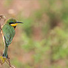 """Africa's Tiny Beauty - Join my photo tour in August?<br /> <br /> Little Bee-eater<br /> <br /> One of my favorite birds in Africa, the tiny green and yellow gem is beautiful, and so much fun to watch.  They keep the air clean of wasps, dragonfly's, horsefly's, and other pests.<br /> <br /> They fly like lightening, so a very tough flight shot., but I will definitely give this a try on our next tour this summer.  Details here!<br /> <br /> <a href=""""http://tinyurl.com/nnovq9a"""">http://tinyurl.com/nnovq9a</a><br /> <br /> We will also visit the Mara River Wildebeests Crossings, one of natures most amazing spectacles!  This is prime season for the crocodiles to be looking for massive food supply's as the animals cross the river.<br /> <br /> Please private message me for more info!<br /> <br /> <br /> Little Bee Eater in Tanzania<br /> RJB Africa Tours<br />  <a href=""""http://www.raymondbarlow.com"""">http://www.raymondbarlow.com</a><br /> 1/160s f/7.1 at 400.0mm iso320"""