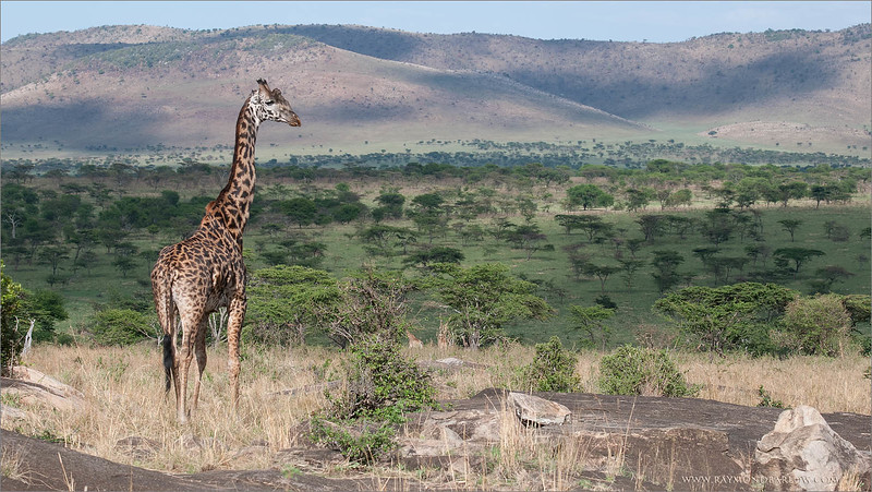 Giraffe on the Serengeti<br /> RJB Tanzania, Africa Tours<br /> <br /> ray@raymondbarlow.com<br /> 1/400s f/8.0 at 70.0mm iso200
