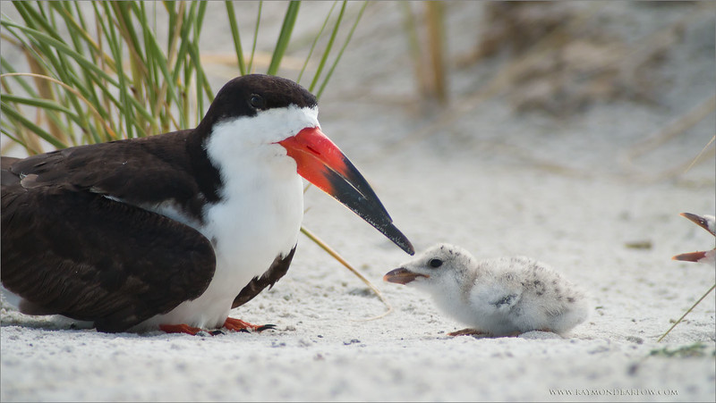 "Telephoto Photography with a Spotting Scope:<br /> <br /> Taken from about 22-25 yards, the skimmers are busy tending to their chicks!  Thanks to the support from Swarovski Optiks!<br /> <br /> Black Skimmer and Chick<br /> RJB USA Tours<br />  <a href=""http://www.raymondbarlow.com"">http://www.raymondbarlow.com</a><br /> Canon EOS 70D ,Swarovski Spotting Scope 95mm<br /> 1/400s f9.5 iso200"