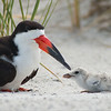 """Telephoto Photography with a Spotting Scope:<br /> <br /> Taken from about 22-25 yards, the skimmers are busy tending to their chicks!  Thanks to the support from Swarovski Optiks!<br /> <br /> Black Skimmer and Chick<br /> RJB USA Tours<br />  <a href=""""http://www.raymondbarlow.com"""">http://www.raymondbarlow.com</a><br /> Canon EOS 70D ,Swarovski Spotting Scope 95mm<br /> 1/400s f9.5 iso200"""