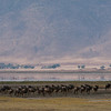 Wildebeests in the Ngorogoro Crater<br /> Raymond Barlow Photo Tours to Tanzania Wildlife and Nature<br /> <br /> Next tour... February 2017 <br /> <br /> ray@raymondbarlow.com<br /> <br /> Incredible nature in Tanzania!<br /> <br /> Nikon D800 ,Nikkor 200-400mm f/4G ED-IF AF-S VR<br /> 1/500s f/14.0 at 200.0mm iso400