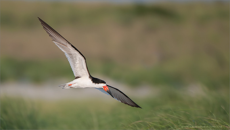 "Traveling South - The Awesome Black Skimmer! + my FB.<br /> <br /> Hosting a tour in the USA is always great fun! On a beach with nesting terns, skimmers, and oyster catchers can be more then amazing!<br /> <br /> We arrived in the late afternoon, a quick dinner, then off to this colony.  Within minutes, we had hundreds of birds to see and photograph.  Fortunately, the public beach makes things very easy, as the birds are very used to people, they fly by within 10 yards!<br /> <br /> 2 more full days of shooting, then a tour to NYC with my family, and home to Canada from there...  busy!<br /> <br /> Thanks to all of my guests this year, so far, life has been amazing!<br /> <br /> Best wishes!<br /> <br /> My Facebook page -<br /> <a href=""https://www.facebook.com/pages/Raymond-Barlow-Photography/322929955147"">https://www.facebook.com/pages/Raymond-Barlow-Photography/322929955147</a><br /> <br /> Please like!<br /> <br /> <br /> Black Skimmer in Flight<br /> RJB USA Tours<br />  <a href=""http://www.raymondbarlow.com"">http://www.raymondbarlow.com</a><br /> 1/1000s f/4.0 at 400.0mm iso200"