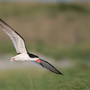 """Traveling South - The Awesome Black Skimmer! + my FB.<br /> <br /> Hosting a tour in the USA is always great fun! On a beach with nesting terns, skimmers, and oyster catchers can be more then amazing!<br /> <br /> We arrived in the late afternoon, a quick dinner, then off to this colony.  Within minutes, we had hundreds of birds to see and photograph.  Fortunately, the public beach makes things very easy, as the birds are very used to people, they fly by within 10 yards!<br /> <br /> 2 more full days of shooting, then a tour to NYC with my family, and home to Canada from there...  busy!<br /> <br /> Thanks to all of my guests this year, so far, life has been amazing!<br /> <br /> Best wishes!<br /> <br /> My Facebook page -<br /> <a href=""""https://www.facebook.com/pages/Raymond-Barlow-Photography/322929955147"""">https://www.facebook.com/pages/Raymond-Barlow-Photography/322929955147</a><br /> <br /> Please like!<br /> <br /> <br /> Black Skimmer in Flight<br /> RJB USA Tours<br />  <a href=""""http://www.raymondbarlow.com"""">http://www.raymondbarlow.com</a><br /> 1/1000s f/4.0 at 400.0mm iso200"""