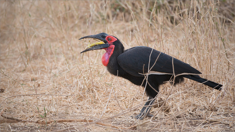 Southern Ground Hornbill<br /> RJB Tanzania, Africa Tours<br /> <br /> ray@raymondbarlow.com<br /> 1/320s f/4.0 at 400.0mm iso400